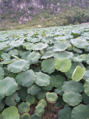 广西壮族自治区柳州市柳江县荷叶