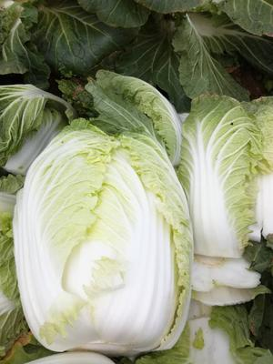 湖北省宜昌市长阳土家族自治县山地王2号 3~6斤 毛菜
