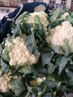 河北省邯郸市永年县有机松花菜 适中 2~3斤 乳白色