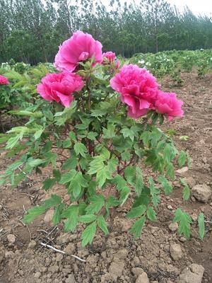 山东省菏泽市牡丹区牡丹树 2~4cm 4cm以下 1~1.5米