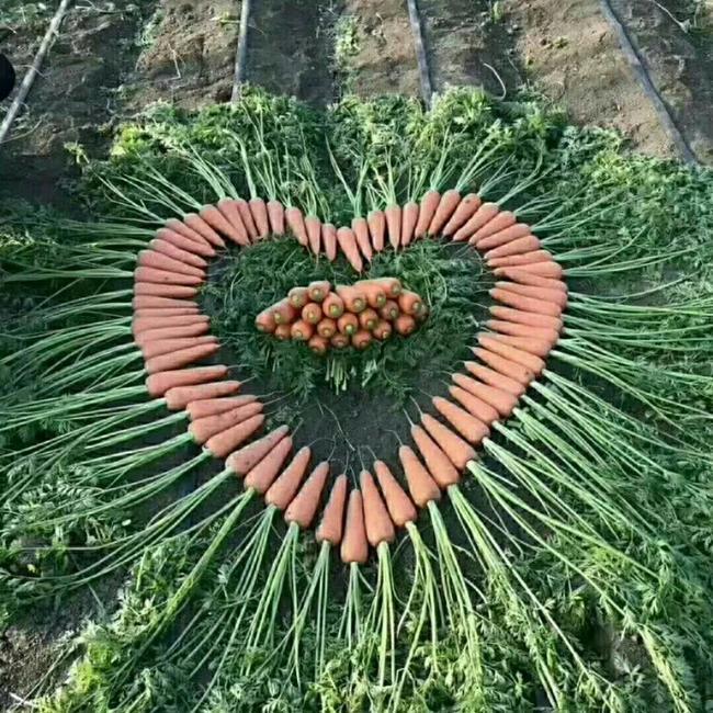 珍好胡萝卜 15cm以上 2两以上 3~4cm