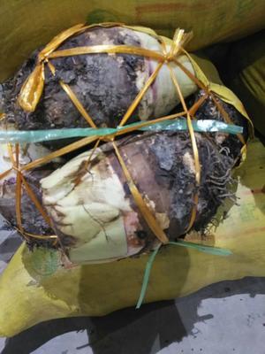 广东省茂名市电白区红芽芋头 5cm以上
