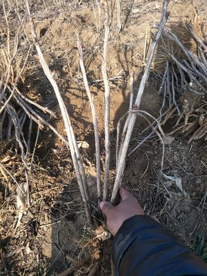 山东省菏泽市牡丹区油用牡丹种苗 2~4cm 4cm以下 0.5米以下