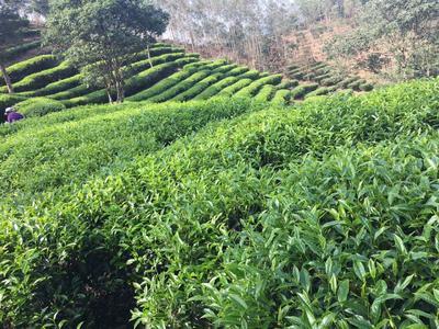 广东省广州市番禺区单枞茶 罐装 一级