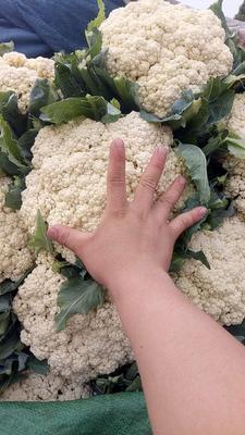河北省邯郸市丛台区有机松花菜 松散 2~3斤 乳白色