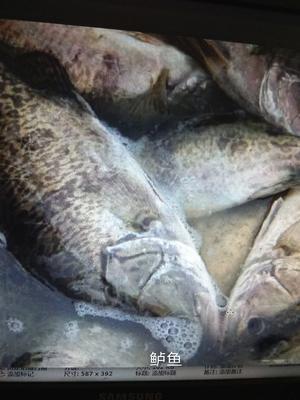 安徽省合肥市长丰县淡水鲈鱼 人工养殖 0.5公斤以下