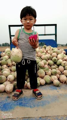 河南省开封市通许县心里美萝卜 1.5~2斤