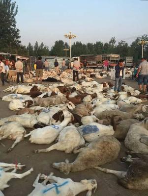 山东省菏泽市牡丹区白条羊 生肉