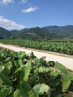 江西省抚州市南丰县槟榔芋 6cm以上