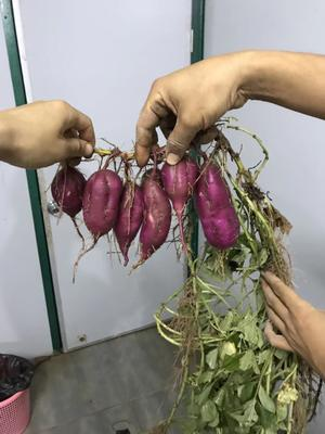 海南省昌江黎族自治县昌江黎族自治县白板薯 0.5-1斤