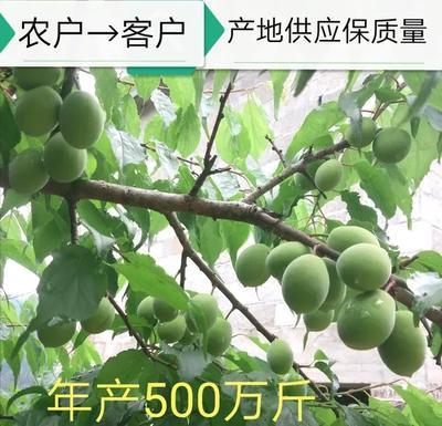 广西壮族自治区崇左市大新县大青梅 20-25g