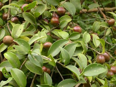 贵州省黔南布依族苗族自治州福泉市油茶籽