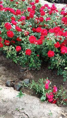 山东省潍坊市青州市红花蔷薇