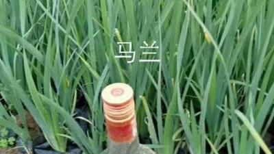 山东省潍坊市青州市马兰花