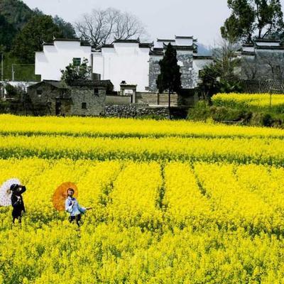 这是一张关于自榨纯菜籽油的产品图片
