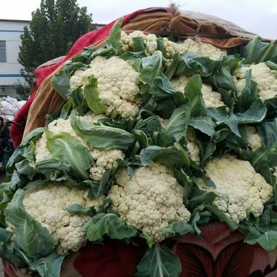 河北省邯郸市永年县白面青梗松花菜 松散 2~3斤 米黄色
