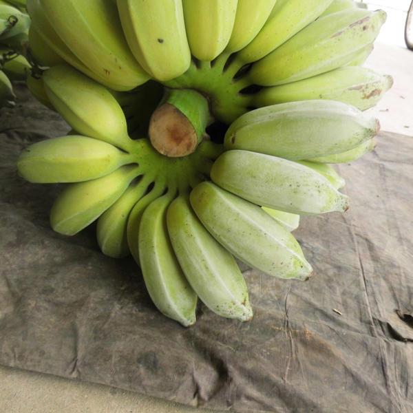 小米蕉 七成熟 40斤以下