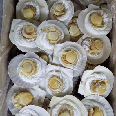 虾夷扇贝 10-20只/公斤 人工养殖