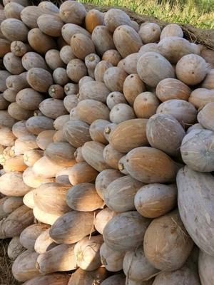广西壮族自治区南宁市西乡塘区蜜本南瓜 4~6斤 其他