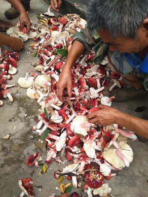 云南省西双版纳傣族自治州景洪市大红菌 1.0% 一级