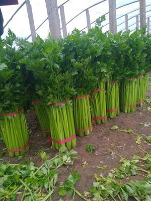 山西省运城市稷山县西芹 60cm以上 大棚种植 1.0~1.5斤