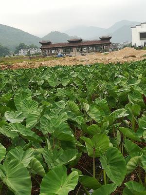 福建省三明市清流县槟榔芋 6cm以上