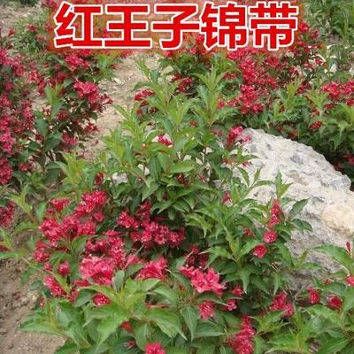 江苏省宿迁市沭阳县红王子锦带 40~60公分