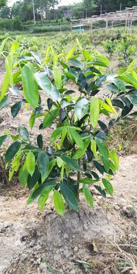 广东省茂名市化州市奇楠沉香树