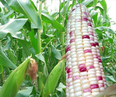 广东省广州市天河区玉米种子