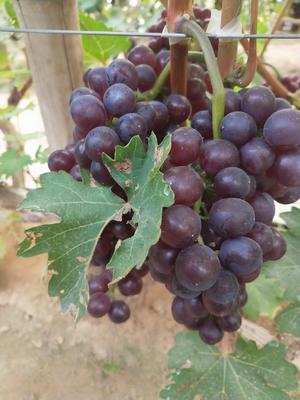 维多利亚葡萄 5%以下 1次果 1-1.5斤