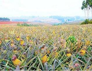 广东省广州市海珠区徐闻菠萝 1 - 1.5斤
