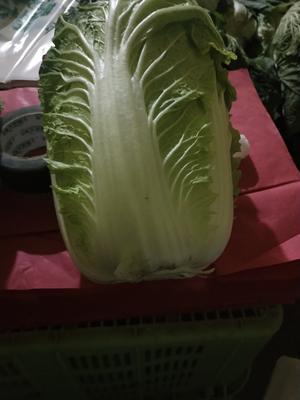甘肃省定西市临洮县韩国黄心白菜 6~10斤 毛菜