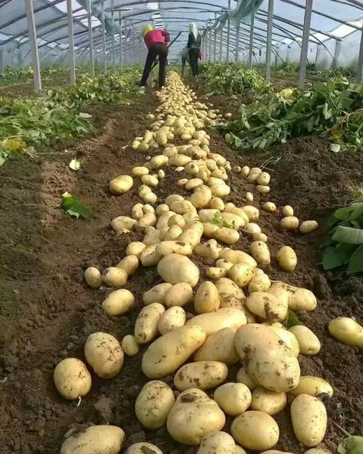 荷兰15号土豆 3两以上