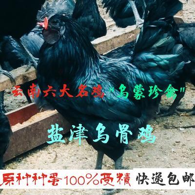 云南省昭通市盐津县盐津乌骨鸡 5-6斤