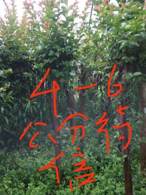 安徽省马鞍山市雨山区紫薇树