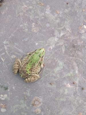 广西壮族自治区桂林市灌阳县黑斑蛙