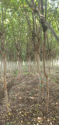 安徽省滁州市来安县紫薇树