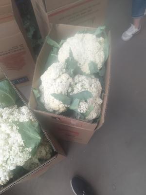 山西省晋中市榆次区有机松花菜 适中 2~3斤 乳白色