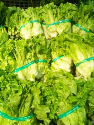 广西壮族自治区南宁市兴宁区红菠菜 10~15cm