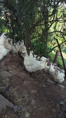 重庆江津区白凤乌鸡 2-3斤