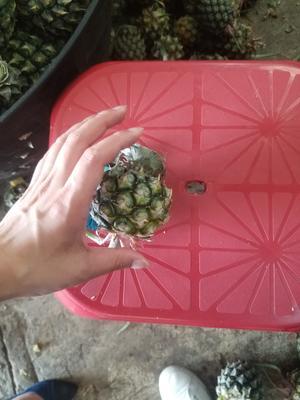 云南省昆明市东川区泰国小菠萝 1 - 1.5斤