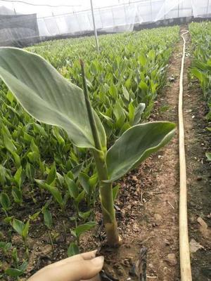 山东省潍坊市青州市大花美人蕉 2cm以下 0.5米以下