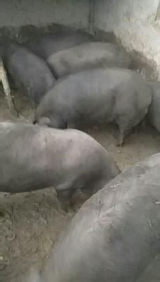 河北省秦皇岛市青龙满族自治县黑猪 200-300斤