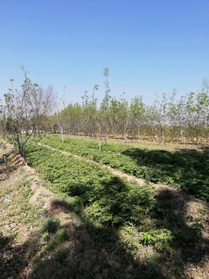 山西省运城市芮城县油用牡丹种苗 2~4cm 4~6cm 0.5~1米