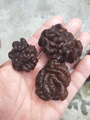 山东省济宁市鱼台县短刺猴头菇 3~5cm