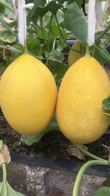 广西壮族自治区南宁市江南区海南菠萝蜜 10-15斤