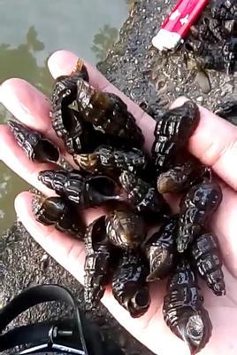 广西壮族自治区玉林市玉州区山坑螺 野生