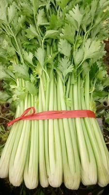 天津津南区美国文图拉芹菜 60cm以上 露天种植 0.5~1.0斤
