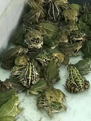 广东省深圳市宝安区青蛙