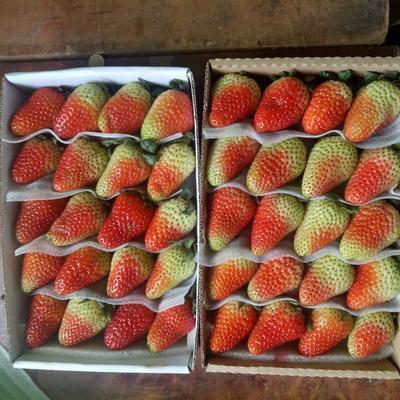 云南省曲靖市会泽县有机草莓 20克以上